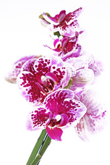 Purple orchid orchideae on isolated white background. The Orchidaceae are a diverse and widespread family of flowering plants, with blooms that are often colourful and fragrant, commonly known as the
