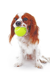 Dog with tennis ball. Cavalier king charles spaniel dog photo. Beautiful cute cavalier puppy dog on isolated white studio background. Trained pet photos for every concept. White background.