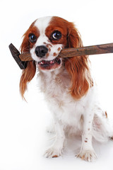 Dog with hammer Cavalier king charles spaniel dog photo. Beautiful cute cavalier puppy dog on isolated white studio background. Trained pet photos for every concept. Cute.