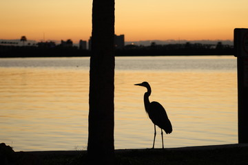 Great blue heron silhouette standing along a seawall with a tree trunk and city background at sunset