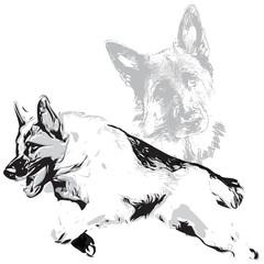 German Shepherd Illustration  on white background