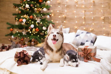Animals. Three dogs Husky, gift box, Christmas tree, close up