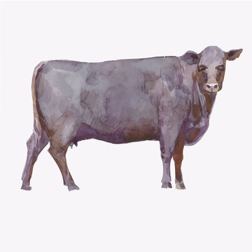 Vector illustration of a watercolor cow. Cow isolated on white background. Aberdeen - аngus breed of cows