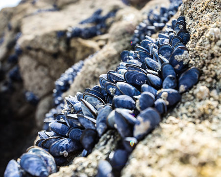 Wild mussels on the rocks of the coast in Brittany