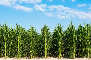 Fototapeta field with green corn on a sunny day obraz