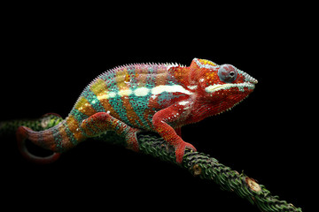 Deurstickers Kameleon Chameleon panther with black background