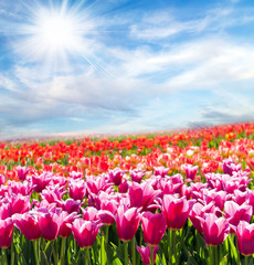 Panorama sun tulip field blossom on a spring sunny day