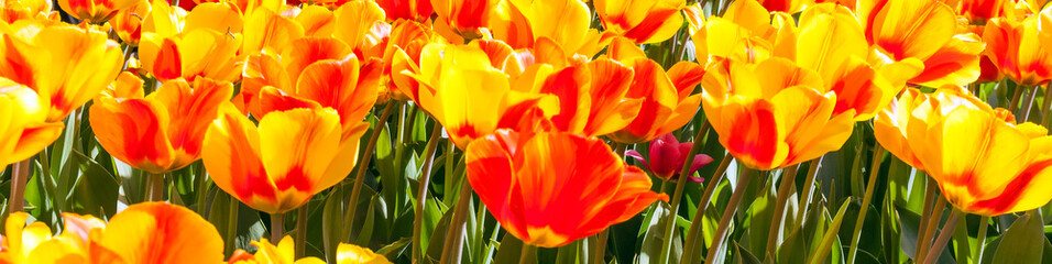 Tulip flowers red and yellow field and blue sky landscape Holland.