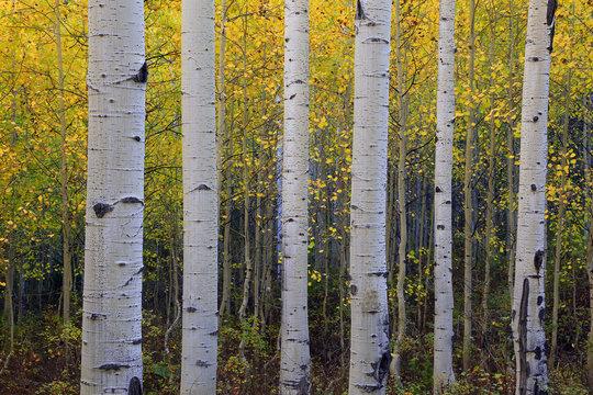 Fall aspen glade background, Utah, USA.