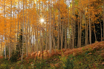 Yellow aspen fall splendor, Utah, USA.