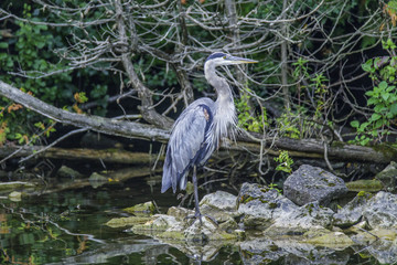 Portrait of a Great Blue Heron on a northern woodland lake