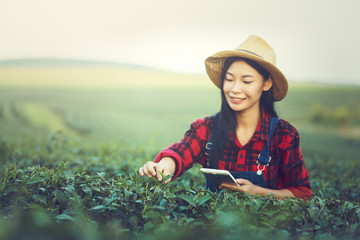 Young woman checking quality of tea leaves before harvesting by tablet,Thailand