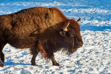 Photo sur Plexiglas Bison The European bison (Bison bonasus). The European bison (Bison bonasus), also known as wisent or the European wood bison, is a Eurasian species of bison. It is one of two extant species of bison, along