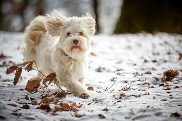 White havanese dog running in winter on snow landscape