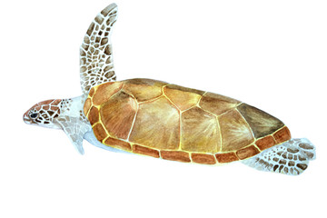watercolor illustration of a sea turtle