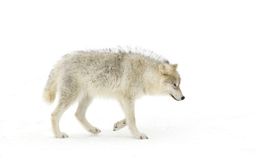 Arctic wolf (Canis lupus arctos) walking in the winter snow in Canada