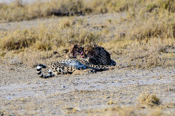 Two Cheetah brothers grooming each other