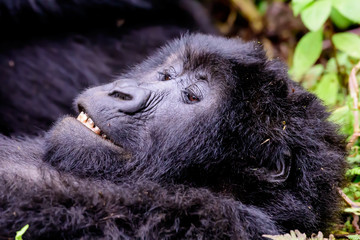 Close up of the face of a mountain gorilla apparently grinning