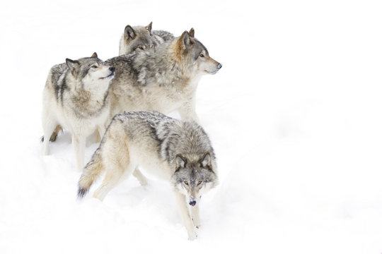Timber wolves or Grey Wolf (Canis lupus) isolated on a white background playing in the winter snow