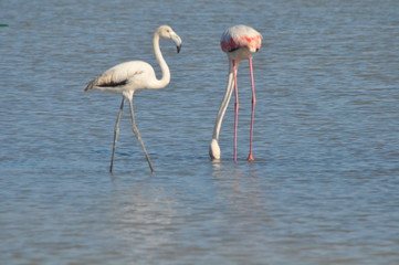 Flamingo in Lady's Mile Limassol