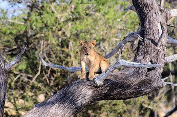 lion cub sat in a tree