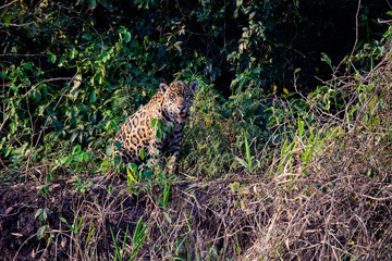 jaguar watching from the safety of the riverbank