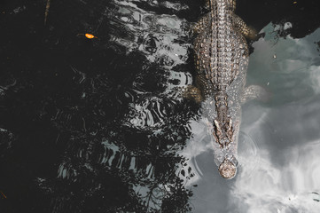 crocodiles rest in the pool