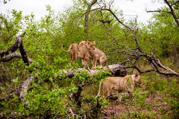 lionesses on a fallen tree trunk
