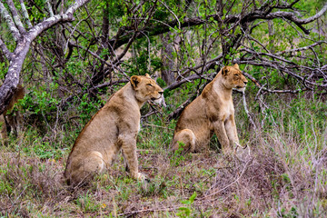 Two alert lionesses watching patiently potential prey