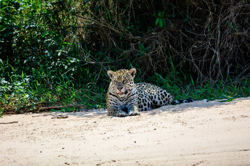 Attentive jaguar resting on the beach