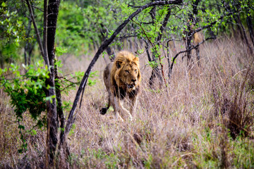 Male lion emerging from the forest