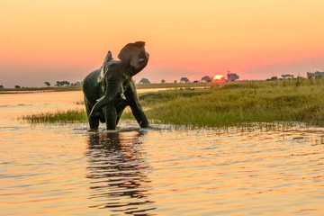 african elephant bathing during the sun setting