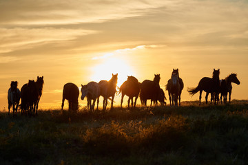 Horses graze on pasture at sunset.   The horse (Equus ferus caballus) is one of two extant subspecies of Equus ferus. It is an odd-toed ungulate mammal belonging to the taxonomic family Equidae. Wall mural