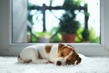 Jack russel puppy on white carpet. Small dog sleep in the house