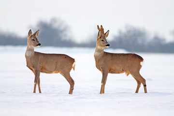 Roe deer Capreolus capreolus in winter. Male and female deer with snowy background.