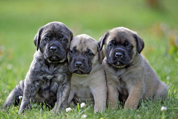 Three adorable English Mastiff puppies sitting close together on grass. Wall mural