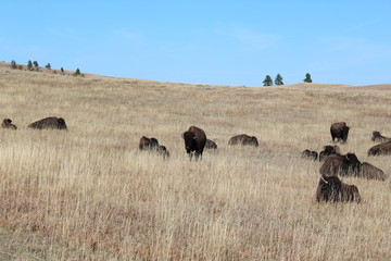 Dry grass field with a herd of bison in the wild