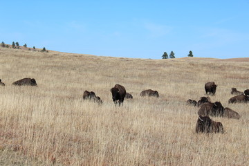 Dry grass field of a herd of bison in the wild and blue sky