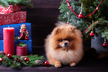 Pomeranian dog in christmas decorations on dark wooden background. The year of the dog. New year dog. Beautiful dog