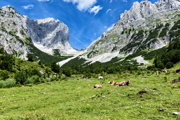 Cows grazing in high alpine pastures in the Alps. Austria, Tirol, Wilder Kaiser Chain