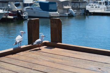 Zwei Möwen auf einem Holzsteg in einem Yachthafen mit Booten im Hintergrund