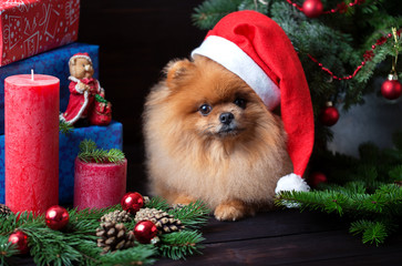 Pomeranian dog in christmas hat with christmas decorations on dark wooden background. The year of the dog. New year dog. Beautiful dog