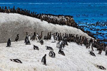 African penguins (Spheniscus demersus) and Cape cormorant birds (Phalacrocorax capensic). Boulders Beach, South Africa