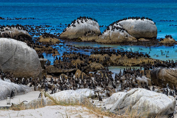 Penguins colony and Cape cormorant birds at Boulders Beach, Cape Town, South Africa