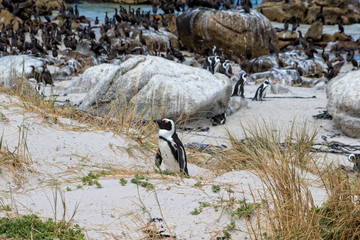 African penguin or Black-footed penguin, Spheniscus demersus, at the Boulders Beach, Cape Town, South Africa