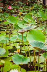 Close shot of green water lilies