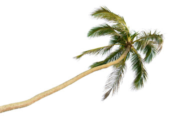 Tilted tall coconut palm isolated on white