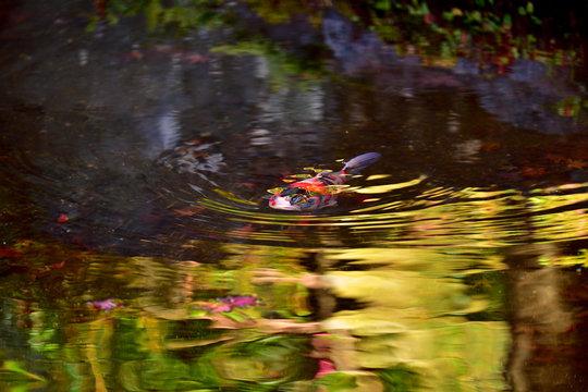 秋色の水面を泳ぐ錦鯉