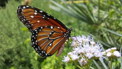MacroMonarchButterfly&Flowers2