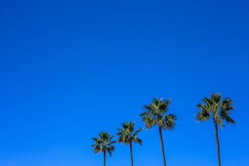 Minimalistic image of four palm trees, blue vivid sly in background. Sunny day in Encinitas, San Diego County, California.
